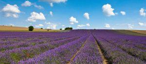 Cornfield - purple flowers